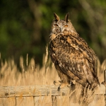 PWP_02_European-Eagel-Owl_AH0R4129A