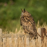 PWP_03_European-Eagel-Owl_AH0R4143A