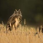 PWP_05_European-Eagel-Owl_AH0R4184A