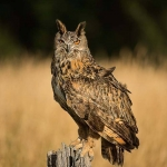 PWP_07_European-Eagel-Owl_AH0R4381A