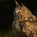 PWP_08_European-Eagel-Owl_AH0R4493A
