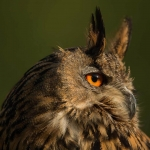 PWP_09_European-Eagel-Owl_AH0R4551A