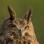 PWP_10_European-Eagel-Owl_AH0R4608A