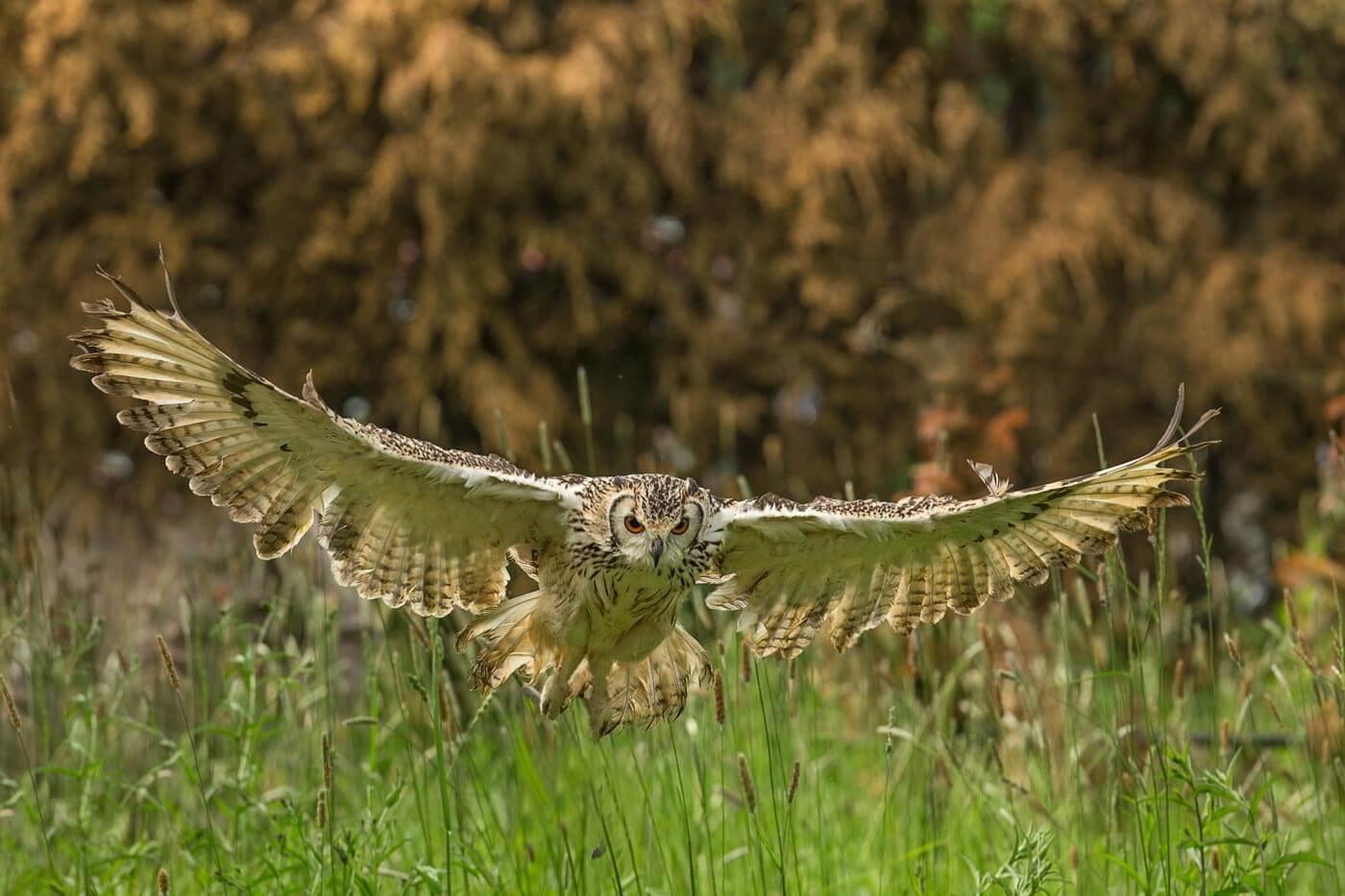 PWP_023_Bengal_Owl_PWP_017_Bengal_Owl_AH0R9374A
