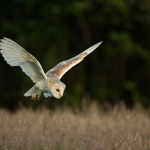 PWP_1400x1050_Barn_Owl_44_045