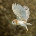 PWP_1400x1050_Barn_Owl_52_053
