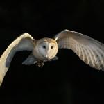 PWP_1400x1050_Barn_Owl_58_059