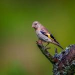 Goldfinch 7 pls