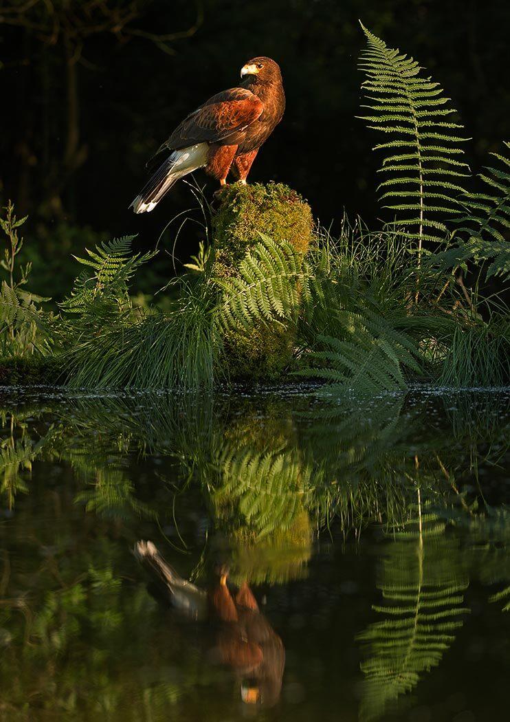 PWP_010_Harris_Hawk_Riverside_reflections