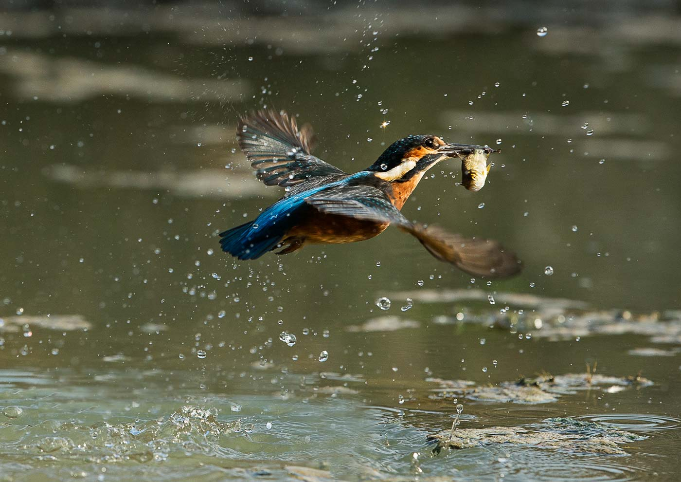 PWP_Kingfisher_AH0R0308A