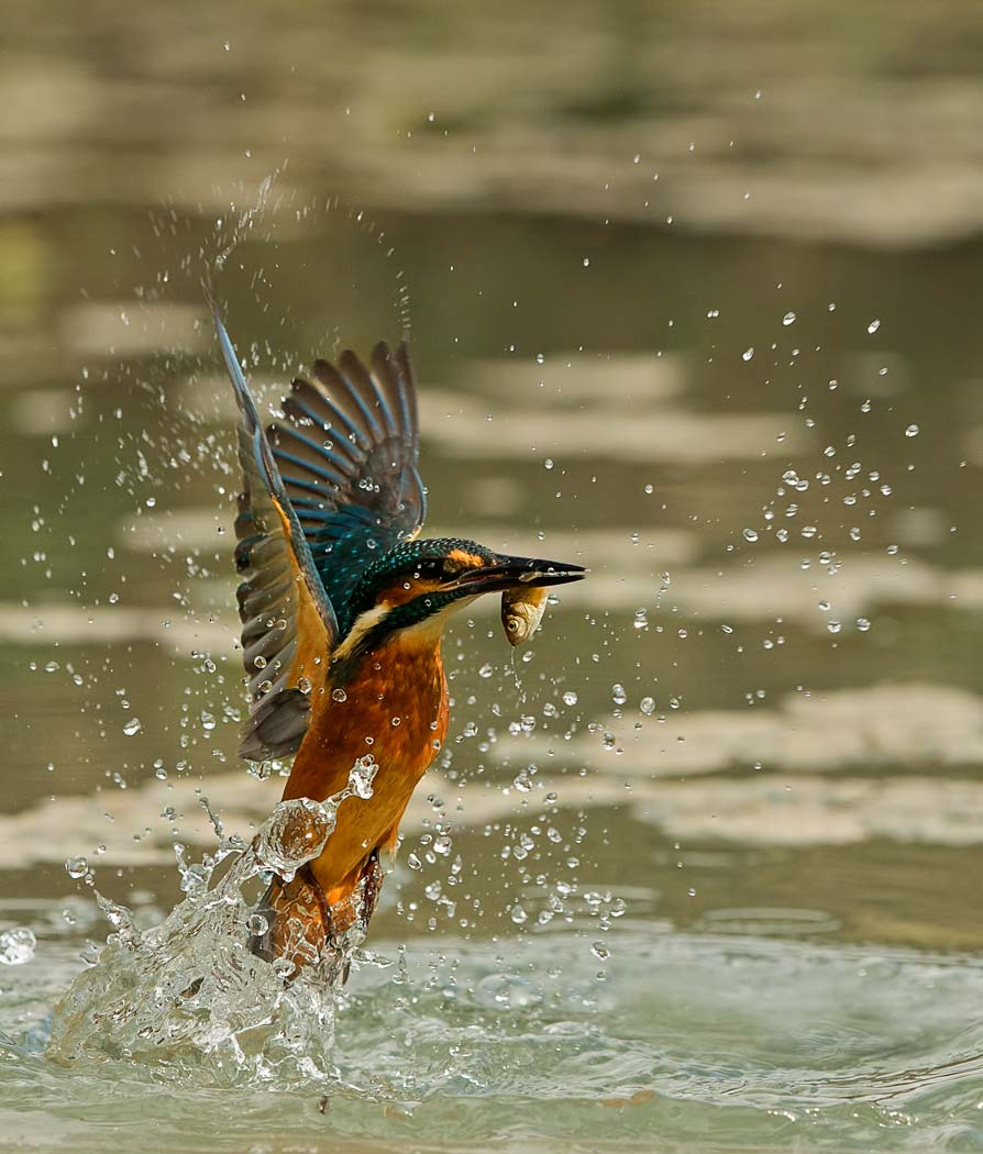 PWP_Kingfisher_AH0R0343A