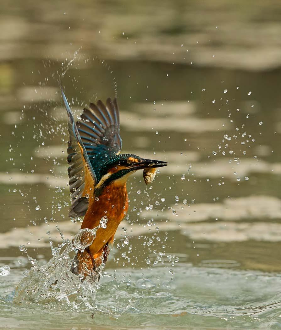 PWP_Kingfisher_AH0R0343A