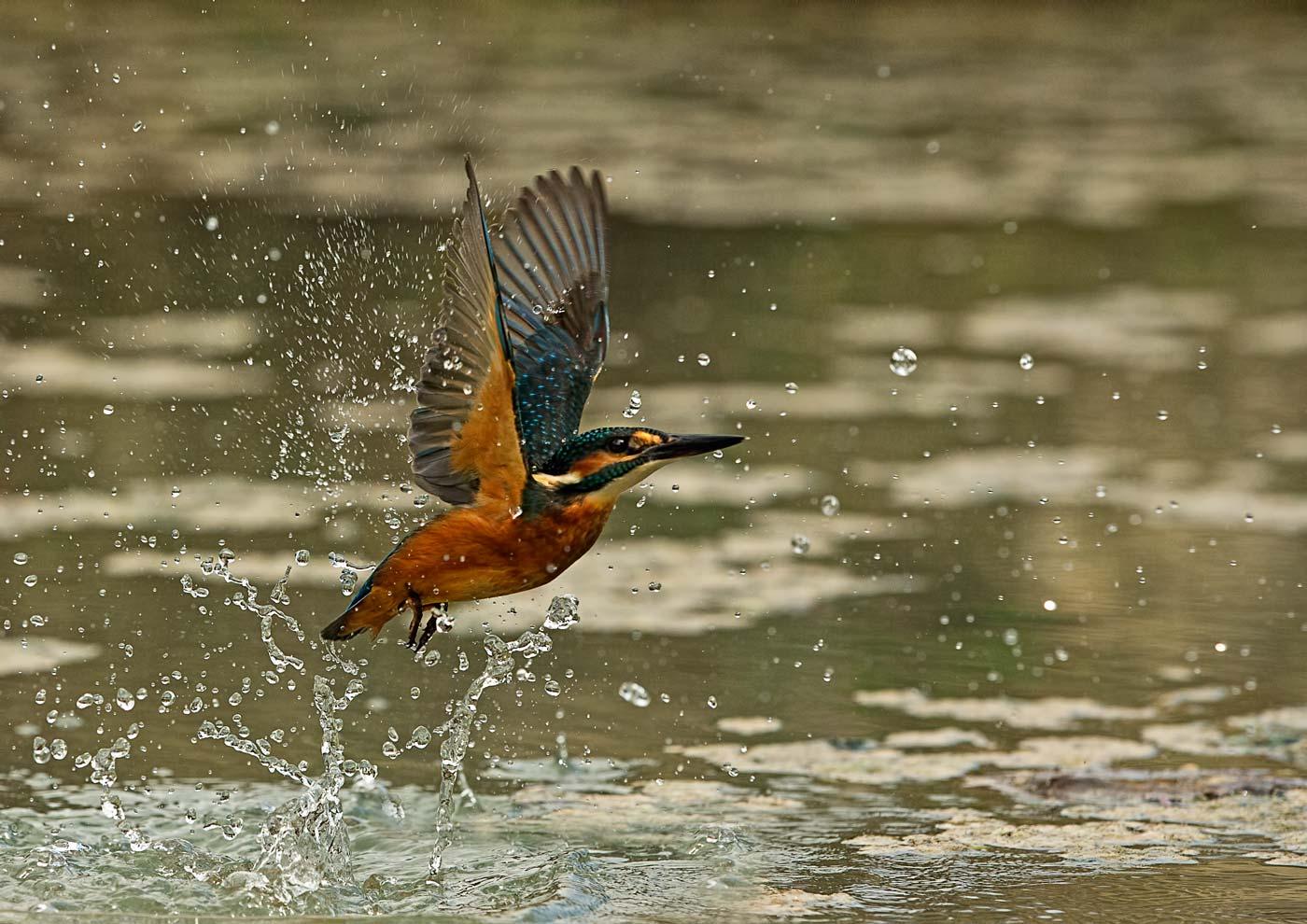 PWP_Kingfisher_AH0R0360A