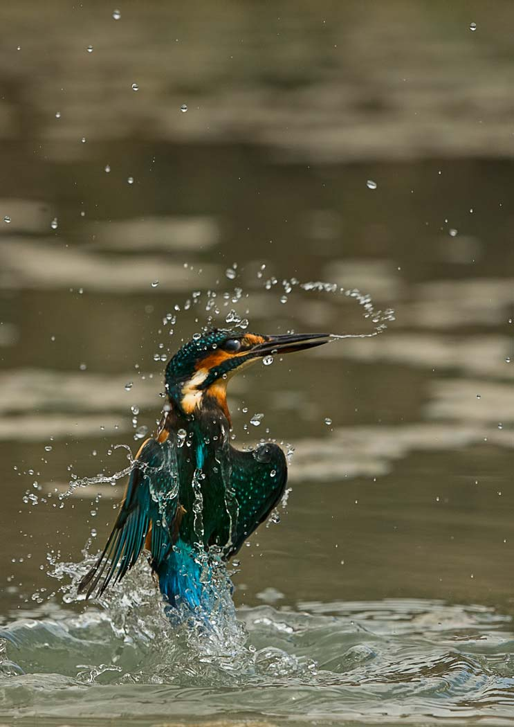 PWP_Kingfisher_AH0R0418A