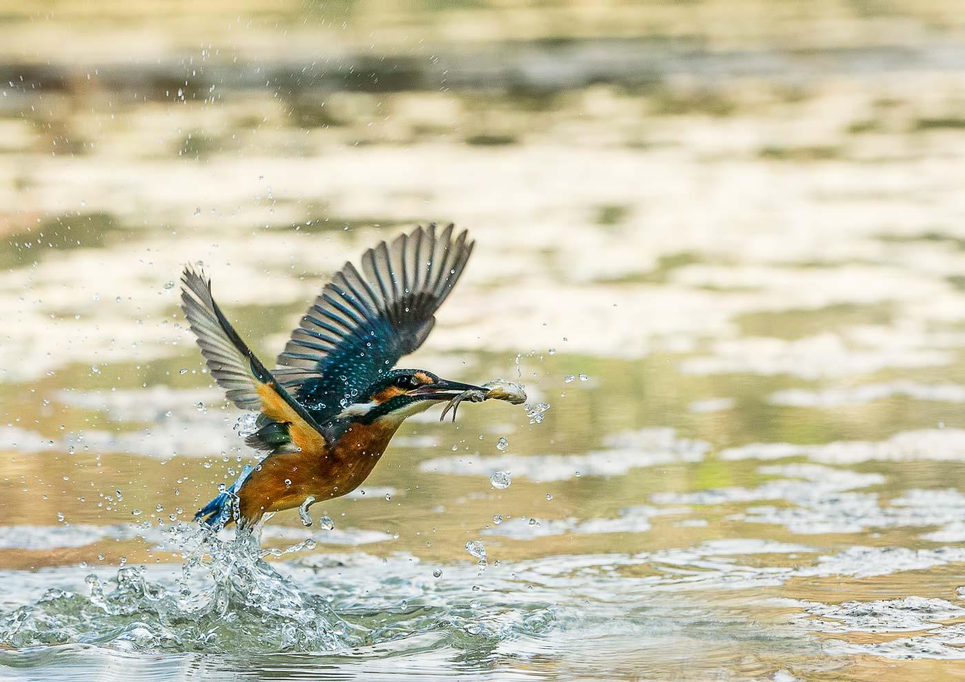 PWP_Kingfisher_AH0R1552A