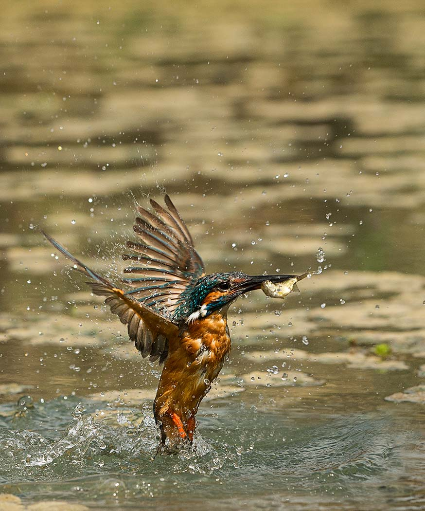 PWP_Kingfisher_AH0R1627A