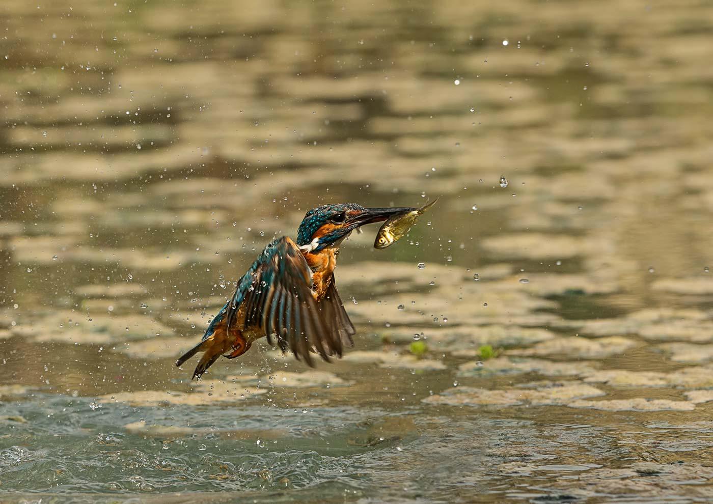 PWP_Kingfisher_AH0R1628A