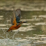 PWP_Kingfisher_AH0R0360A