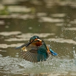 PWP_Kingfisher_AH0R0464A