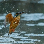 PWP_Kingfisher_AH0R1454A