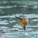 PWP_Kingfisher_AH0R1468A