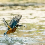 PWP_Kingfisher_AH0R1552A