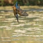 PWP_Kingfisher_AH0R1574A