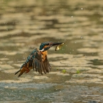 PWP_Kingfisher_AH0R1628A