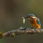 PWP_Kingfisher_AW2U2119A