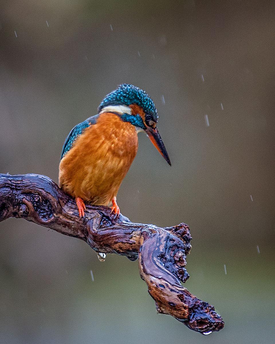 MG_3910-kingfisher