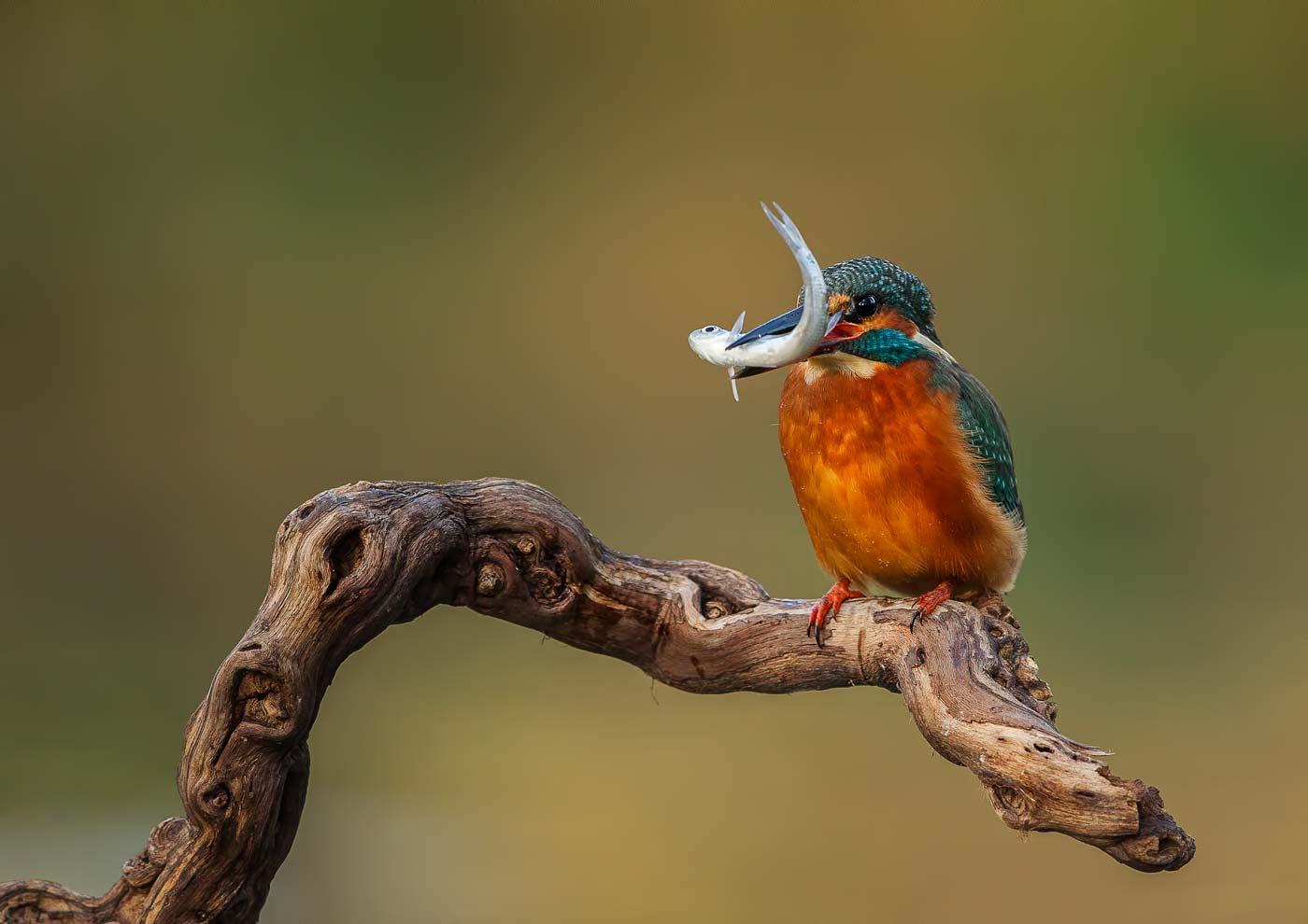 PWP_Kingfisher_011