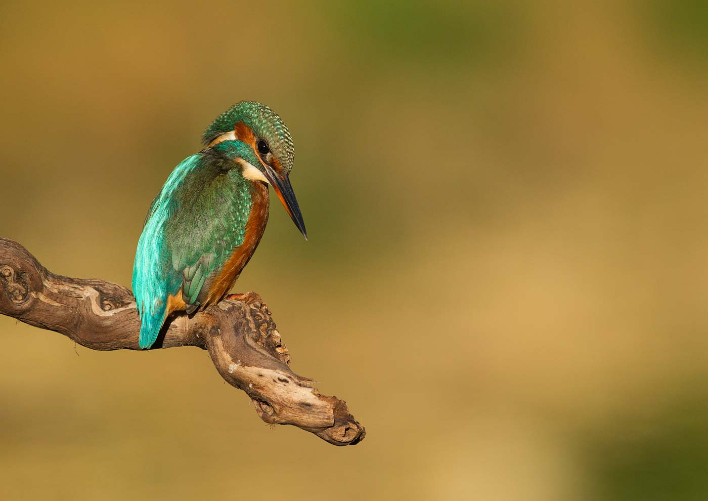 PWP_Kingfisher_014