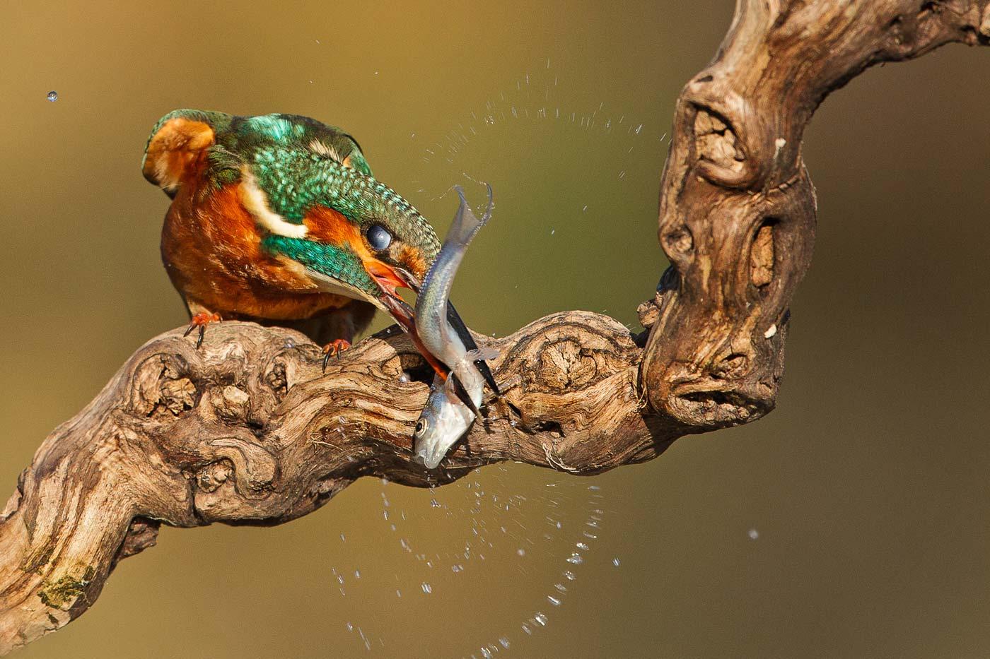 PWP_Kingfisher_019