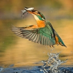 PWP_Kingfisher_001