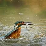 PWP_Kingfisher_002