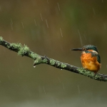 PWP_Kingfisher_003