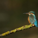 PWP_Kingfisher_004