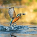 PWP_Kingfisher_006