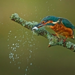 PWP_Kingfisher_008