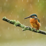 PWP_Kingfisher_010