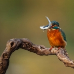PWP_Kingfisher_011