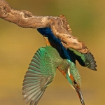 PWP_Kingfisher_013