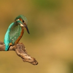 PWP_Kingfisher_014
