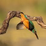 PWP_Kingfisher_015