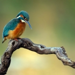 PWP_Kingfisher_017
