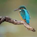 PWP_Kingfisher_018
