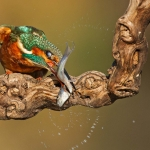 PWP_Kingfisher_019
