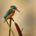 PWP_Kingfisher_021
