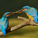 PWP_Kingfisher_022