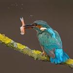 PWP_Kingfisher_024